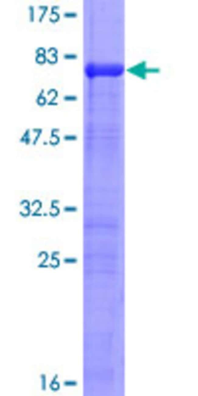 Abnova Human IRF2 Full-length ORF (AAH15803.1, 1 a.a. - 349 a.a.) Recombinant