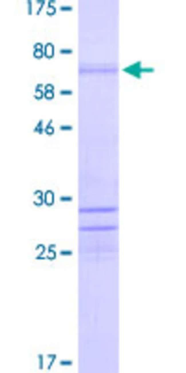 Abnova Human ISL1 Full-length ORF (NP_002193.1, 1 a.a. - 346 a.a.) Recombinant