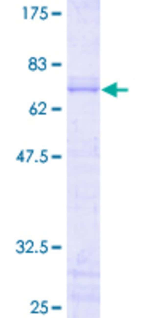 Abnova Human JUNB Full-length ORF (NP_002220.1, 1 a.a. - 347 a.a.) Recombinant