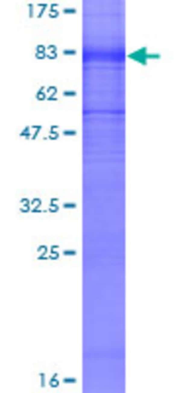 Abnova Human KCNA1 Full-length ORF (NP_000208.2, 1 a.a. - 495 a.a.) Recombinant