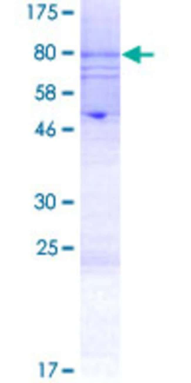 Abnova Human KCNJ4 Full-length ORF (CAK54537.1, 1 a.a. - 445 a.a.) Recombinant
