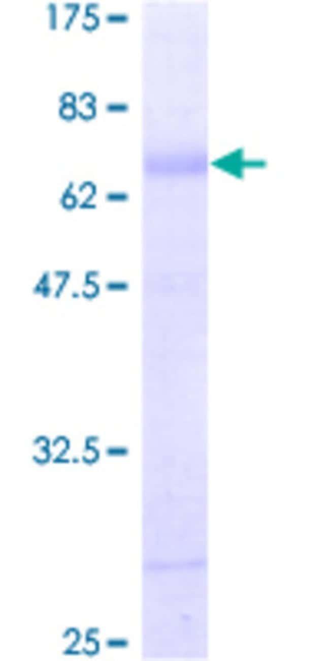 Abnova Human KCNN3 Full-length ORF (AAH42147, 1 a.a. - 426 a.a.) Recombinant