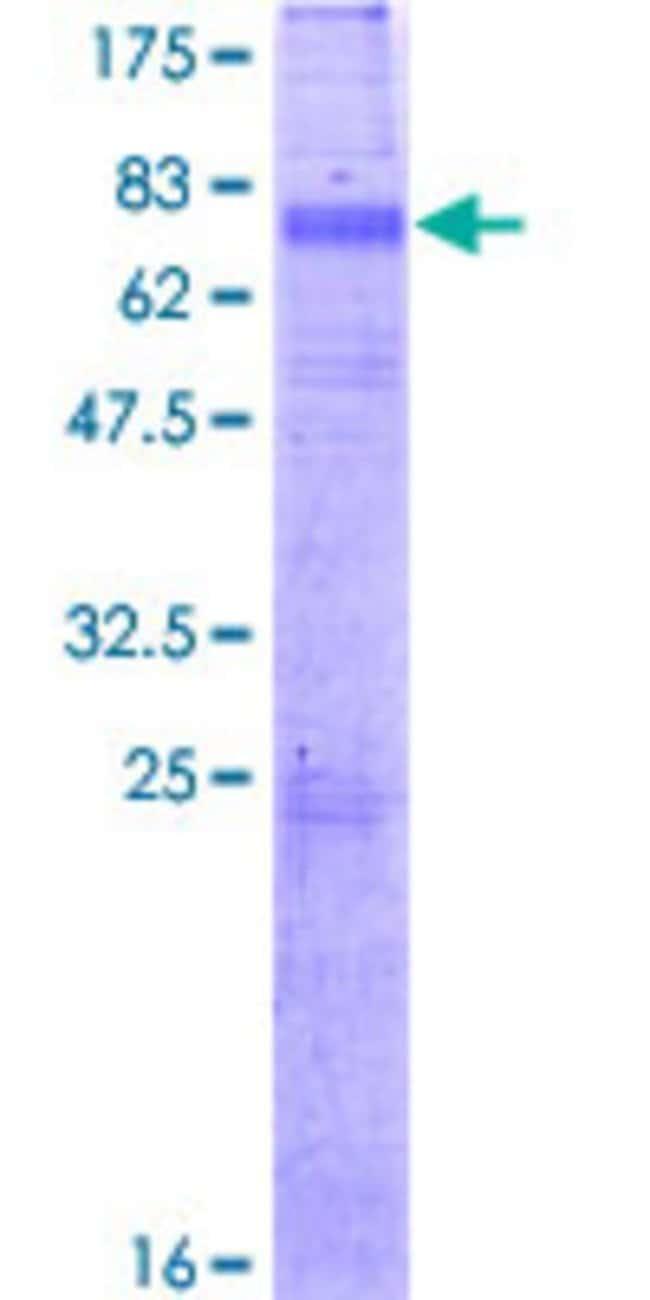 Abnova Human KCNN3 Full-length ORF (NP_740752.1, 1 a.a. - 426 a.a.) Recombinant