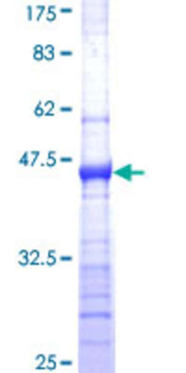 Abnova™Human MAGEA12 Partial ORF (NP_005358, 70 a.a. - 168 a.a.) Recombinant Protein with GST-tag at N-terminal 25μg Abnova™Human MAGEA12 Partial ORF (NP_005358, 70 a.a. - 168 a.a.) Recombinant Protein with GST-tag at N-terminal