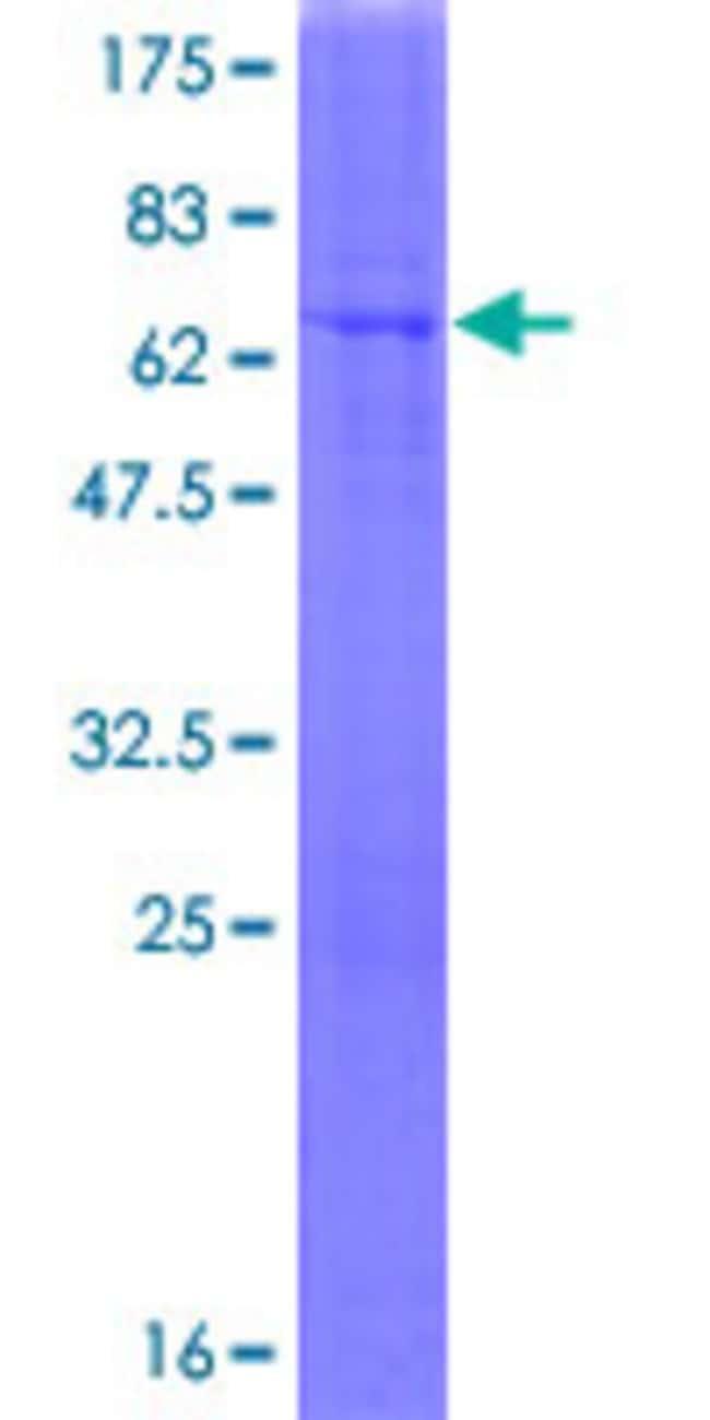 Abnova Human MAN1A1 Full-length ORF (AAH65827.1, 1 a.a. - 367 a.a.) Recombinant