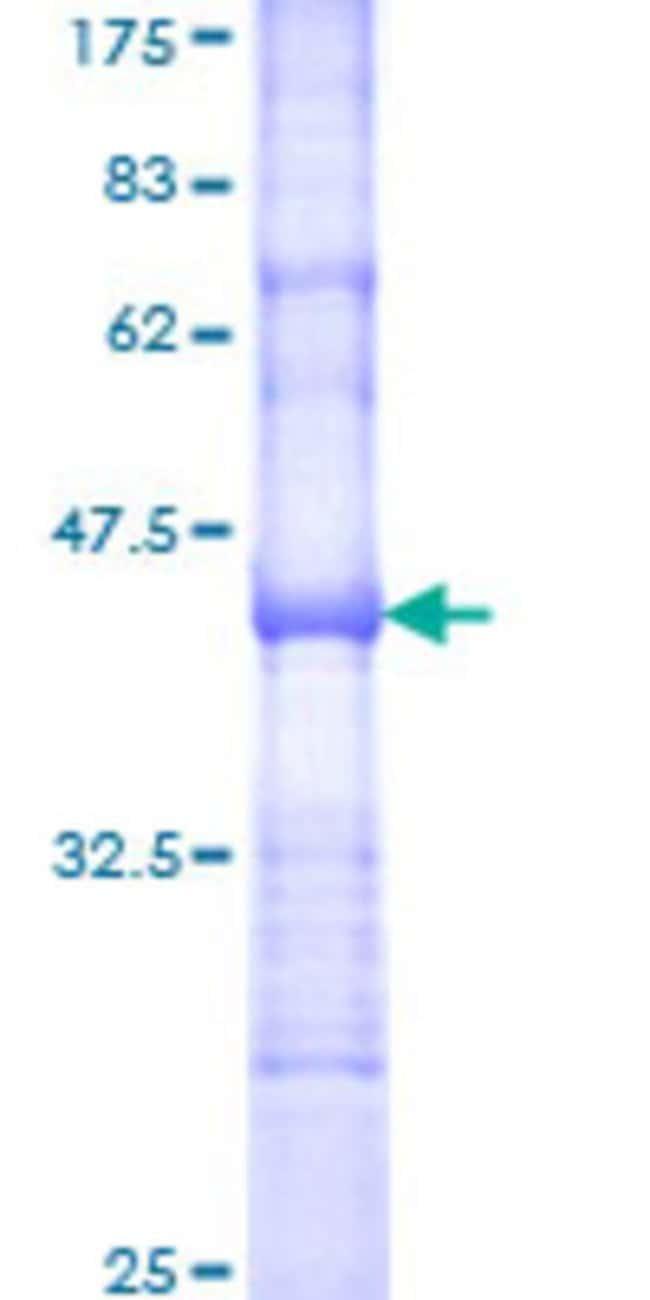 Abnova Human MFGE8 Partial ORF (NP_005919, 61 a.a. - 170 a.a.) Recombinant
