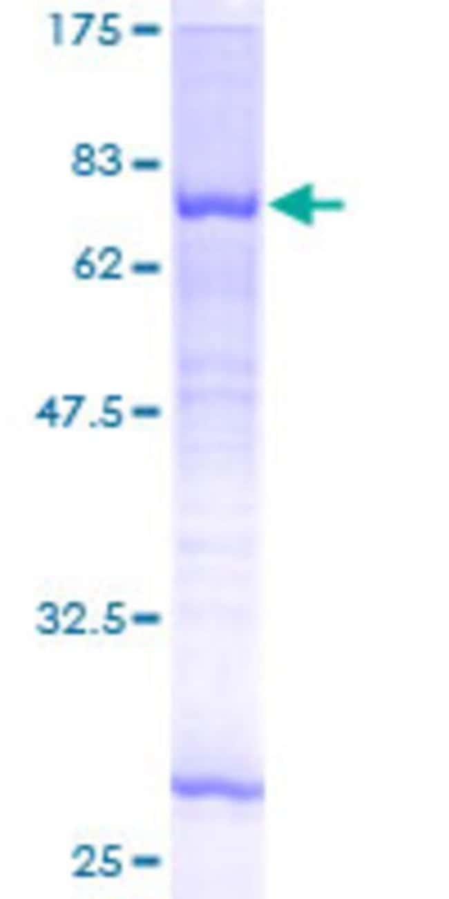 Abnova Human MGAT2 Full-length ORF (AAH06390, 1 a.a. - 447 a.a.) Recombinant