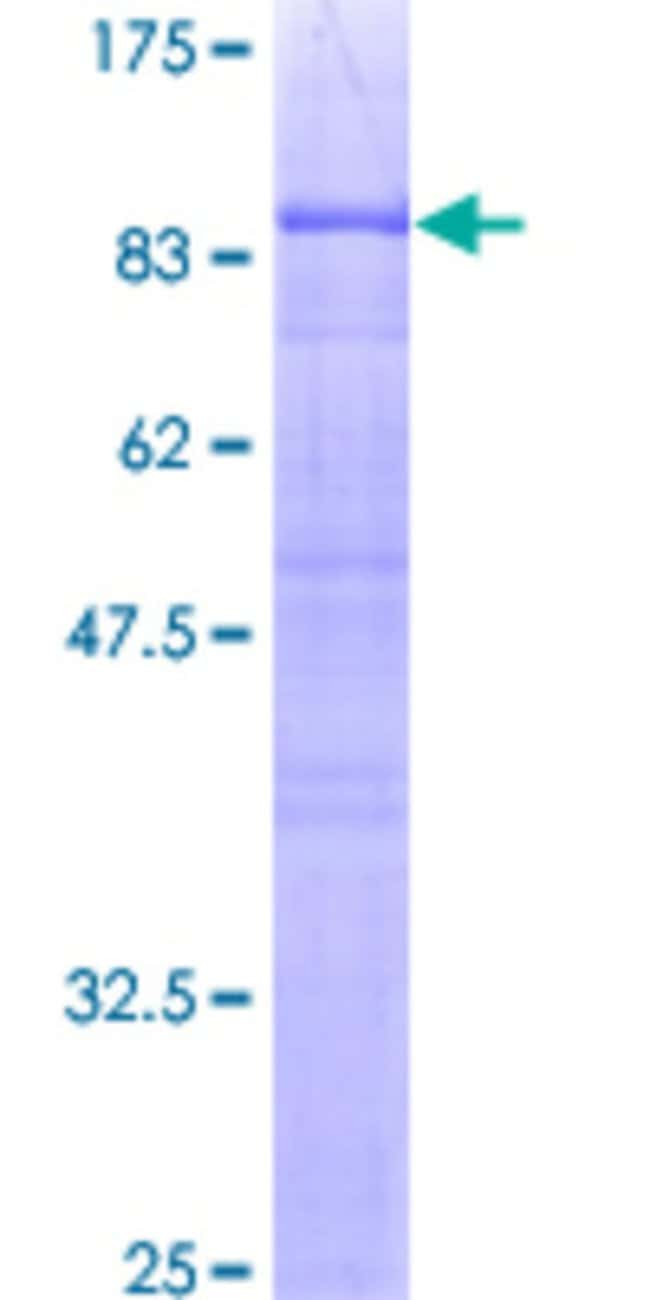 Abnova™Human NAP1L2 Full-length ORF (AAH26325, 1 a.a. - 460 a.a.) Recombinant Protein with GST-tag at N-terminal 10μg Abnova™Human NAP1L2 Full-length ORF (AAH26325, 1 a.a. - 460 a.a.) Recombinant Protein with GST-tag at N-terminal