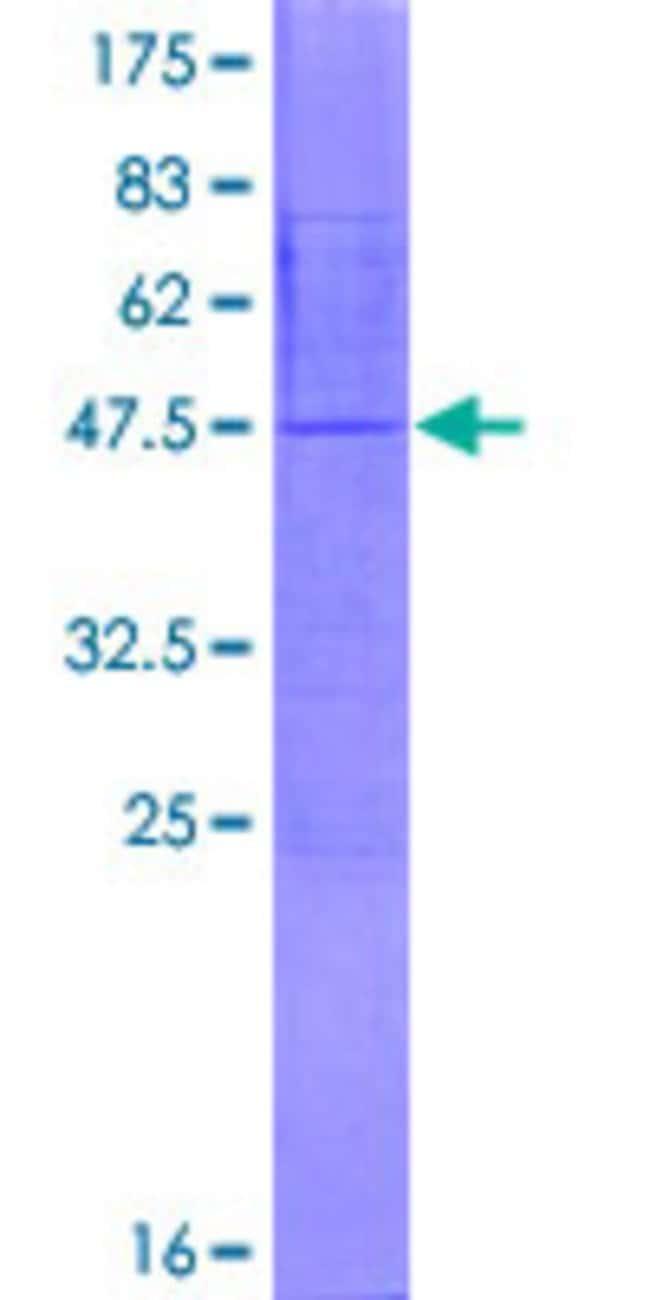 AbnovaHuman NDUFA8 Full-length ORF (NP_055037.1, 1 a.a. - 172 a.a.) Recombinant