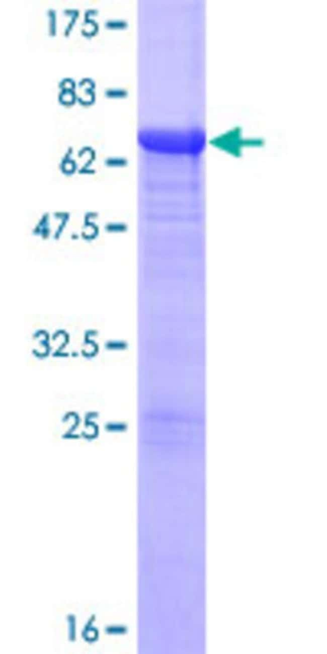 Abnova™Human NFKBIB Full-length ORF (NP_002494.2, 1 a.a. - 356 a.a.) Recombinant Protein with GST-tag at N-terminal 10μg Abnova™Human NFKBIB Full-length ORF (NP_002494.2, 1 a.a. - 356 a.a.) Recombinant Protein with GST-tag at N-terminal