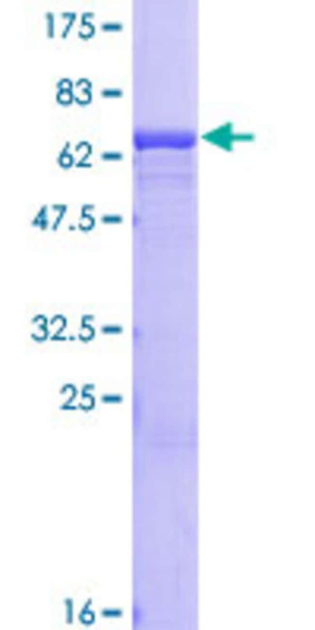 Abnova™Human NPTX2 Full-length ORF (NP_002514.1, 1 a.a. - 431 a.a.) Recombinant Protein with GST-tag at N-terminal 10μg Abnova™Human NPTX2 Full-length ORF (NP_002514.1, 1 a.a. - 431 a.a.) Recombinant Protein with GST-tag at N-terminal