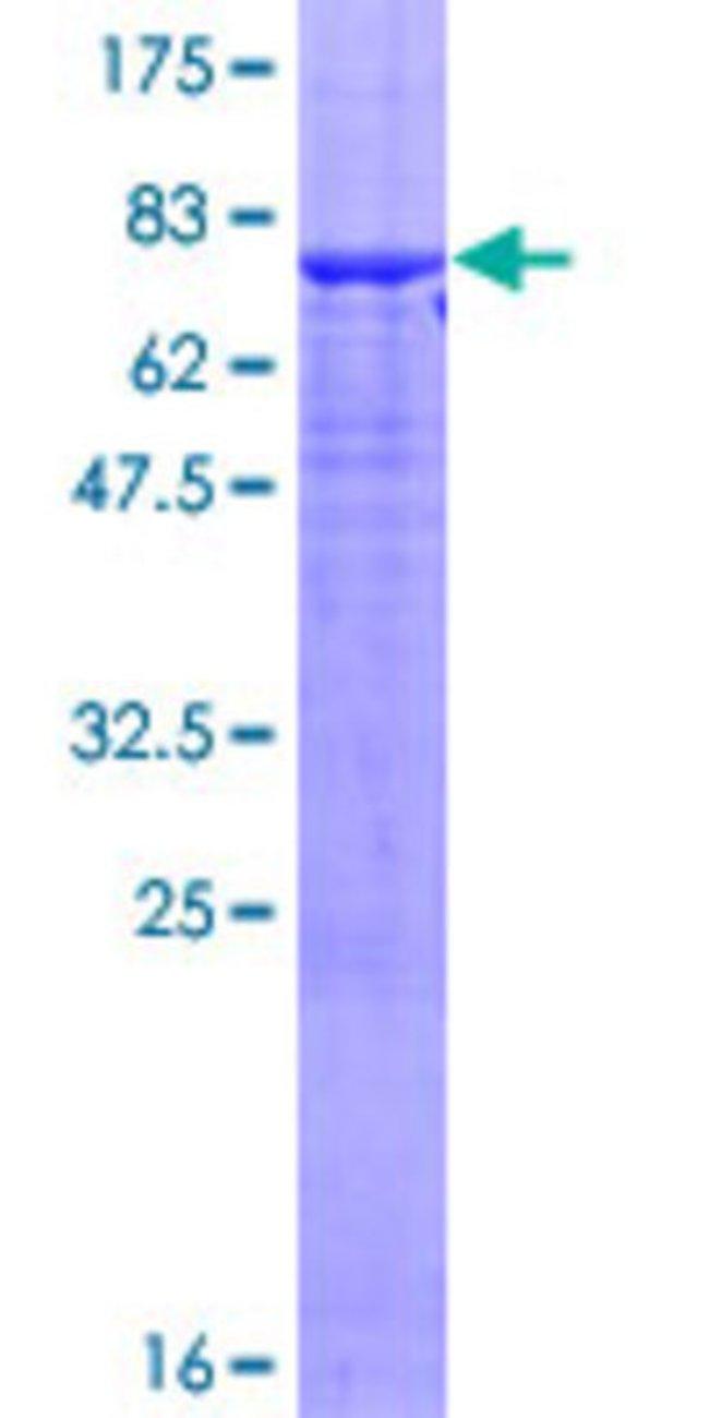 AbnovaHuman OMG Full-length ORF (AAH18050.1, 1 a.a. - 440 a.a.) Recombinant