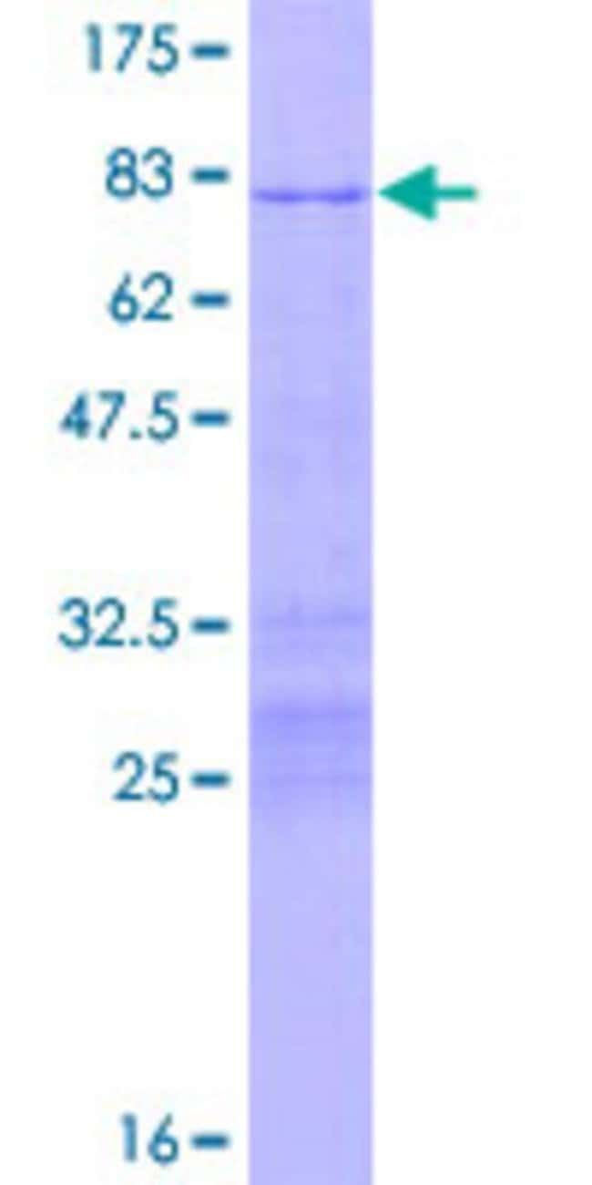 Abnova™Human POU3F2 Full-length ORF (AAH51699.2, 1 a.a. - 443 a.a.) Recombinant Protein with GST-tag at N-terminal 25μg Abnova™Human POU3F2 Full-length ORF (AAH51699.2, 1 a.a. - 443 a.a.) Recombinant Protein with GST-tag at N-terminal