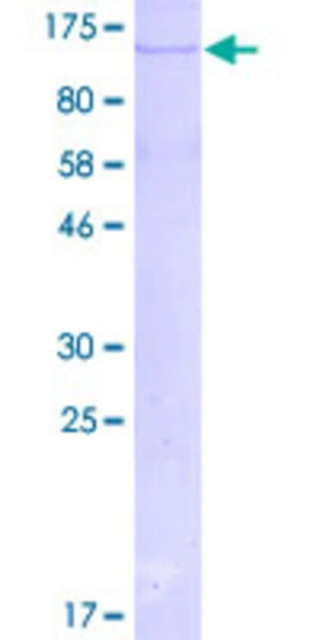 Abnova Human MAPK7 Full-length ORF (AAH07404.1, 1 a.a. - 677 a.a.) Recombinant