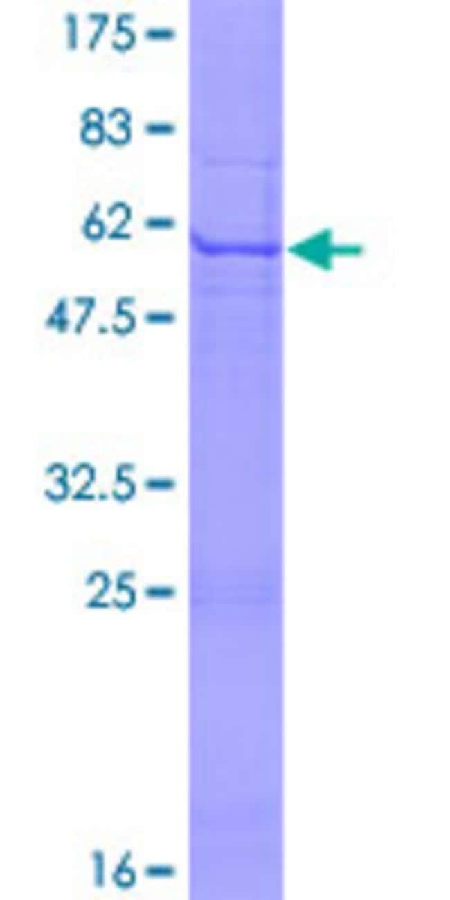 Abnova Human KLK10 Full-length ORF (AAH02710.1, 1 a.a. - 276 a.a.) Recombinant