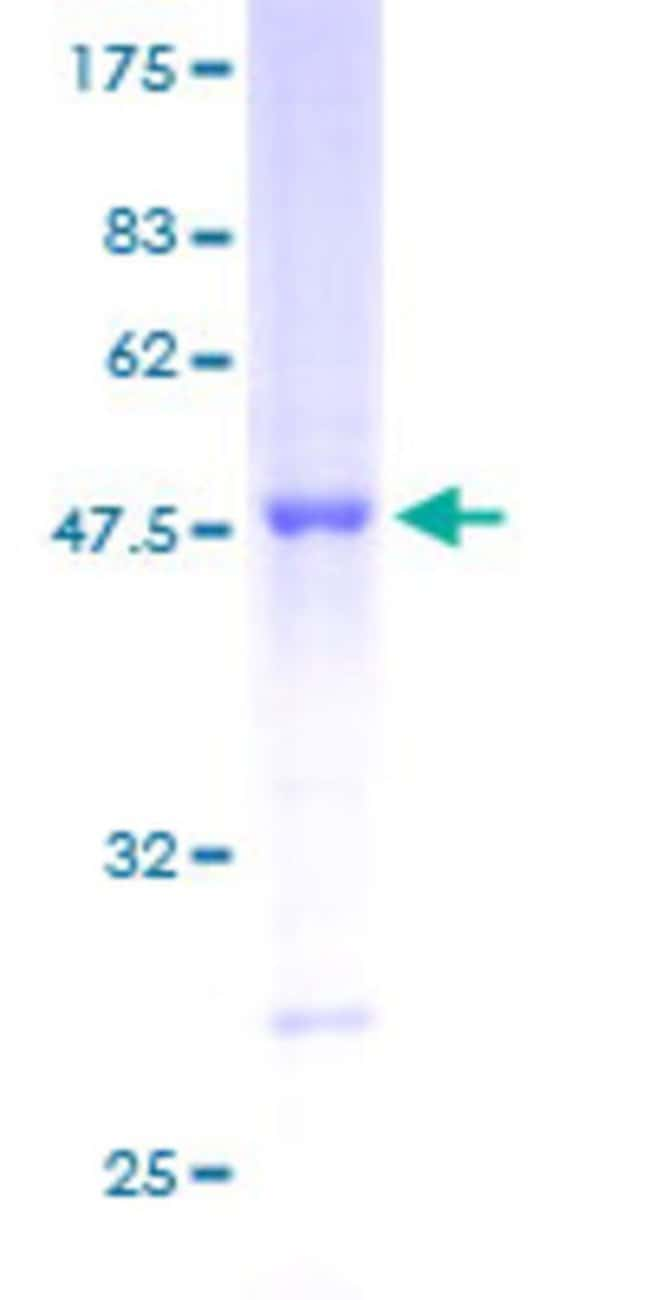 Abnova™Human RAB13 Full-length ORF (AAH00799, 1 a.a. - 203 a.a.) Recombinant Protein with GST-tag at N-terminal 25μg Abnova™Human RAB13 Full-length ORF (AAH00799, 1 a.a. - 203 a.a.) Recombinant Protein with GST-tag at N-terminal