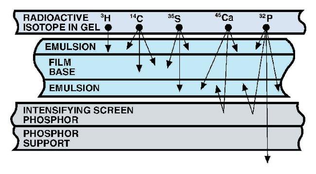 Fisherbrand Intensifying Screens:Electrophoresis, Western Blotting and