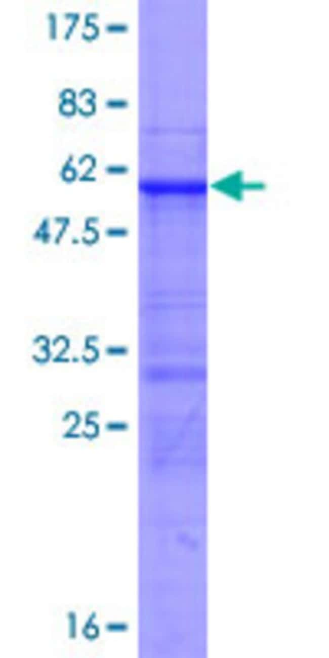 Abnova™Human RFXAP Full-length ORF (AAH26088.1, 1 a.a. - 272 a.a.) Recombinant Protein with GST-tag at N-terminal 10μg Abnova™Human RFXAP Full-length ORF (AAH26088.1, 1 a.a. - 272 a.a.) Recombinant Protein with GST-tag at N-terminal