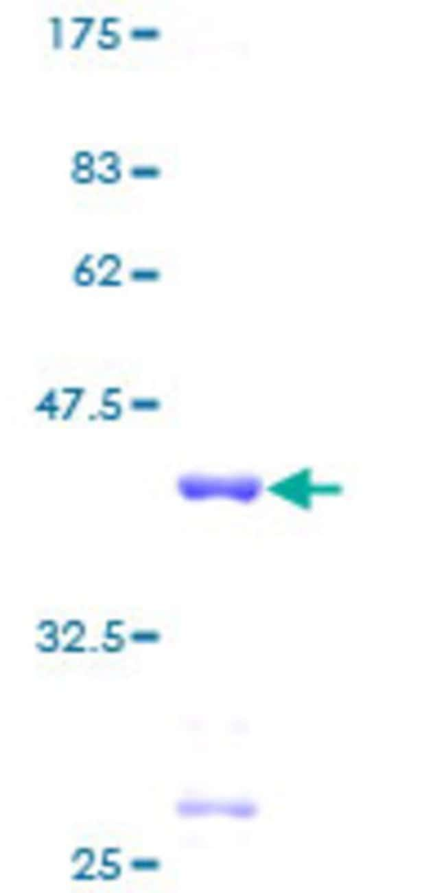 Abnova™Human RPL30 Full-length ORF (AAH32700, 1 a.a. - 115 a.a.) Recombinant Protein with GST-tag at N-terminal 10μg Abnova™Human RPL30 Full-length ORF (AAH32700, 1 a.a. - 115 a.a.) Recombinant Protein with GST-tag at N-terminal