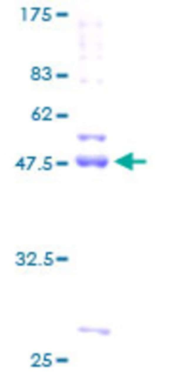Abnova™Human CDIPT Full-length ORF (AAH01444, 1 a.a. - 213 a.a.) Recombinant Protein with GST-tag at N-terminal 10μg Abnova™Human CDIPT Full-length ORF (AAH01444, 1 a.a. - 213 a.a.) Recombinant Protein with GST-tag at N-terminal