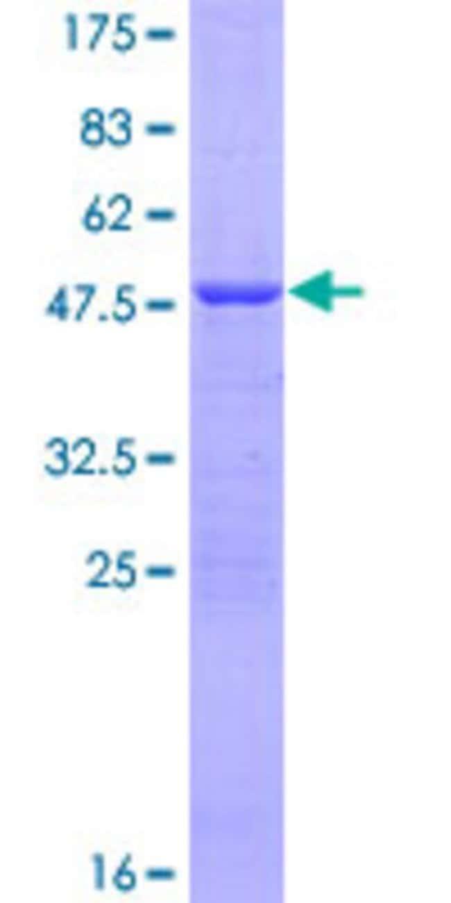 AbnovaHuman ATP5H Full-length ORF (NP_006347.1, 1 a.a. - 161 a.a.) Recombinant