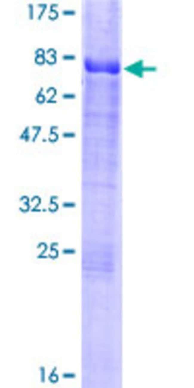 AbnovaHuman CREB3 Full-length ORF (AAH09402.1, 1 a.a. - 371 a.a.) Recombinant