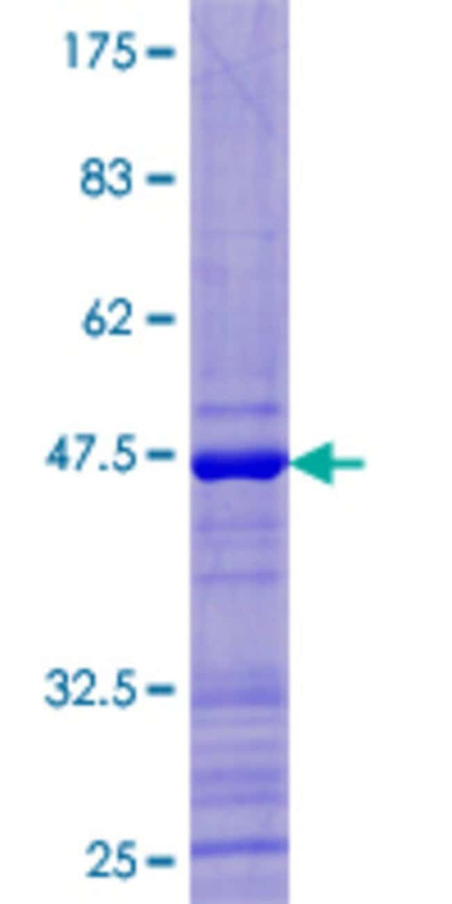 AbnovaHuman UBD Full-length ORF (NP_006389.1, 1 a.a. - 165 a.a.) Recombinant