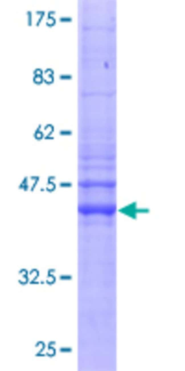 AbnovaHuman IFITM2 Full-length ORF (AAH09696, 1 a.a. - 132 a.a.) Recombinant
