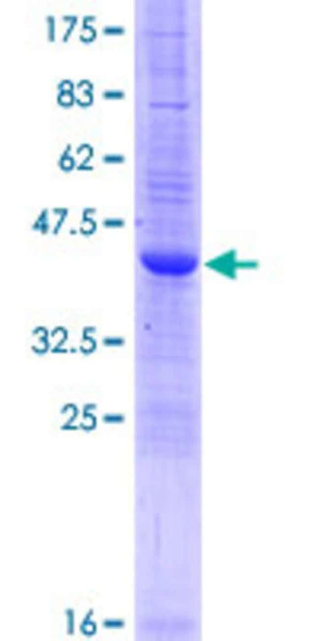 AbnovaHuman IFITM2 Full-length ORF (AAH09696.1, 1 a.a. - 132 a.a.) Recombinant