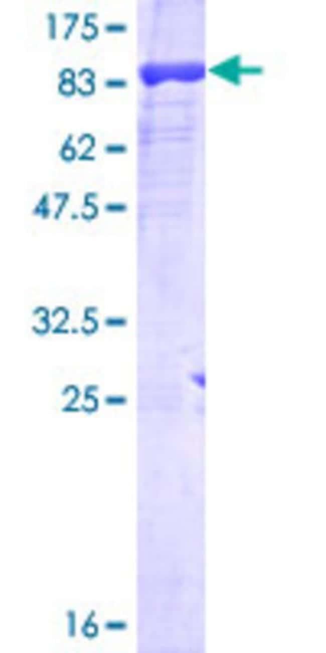 AbnovaHuman POLR3C Full-length ORF (NP_006459.3, 1 a.a. - 534 a.a.) Recombinant