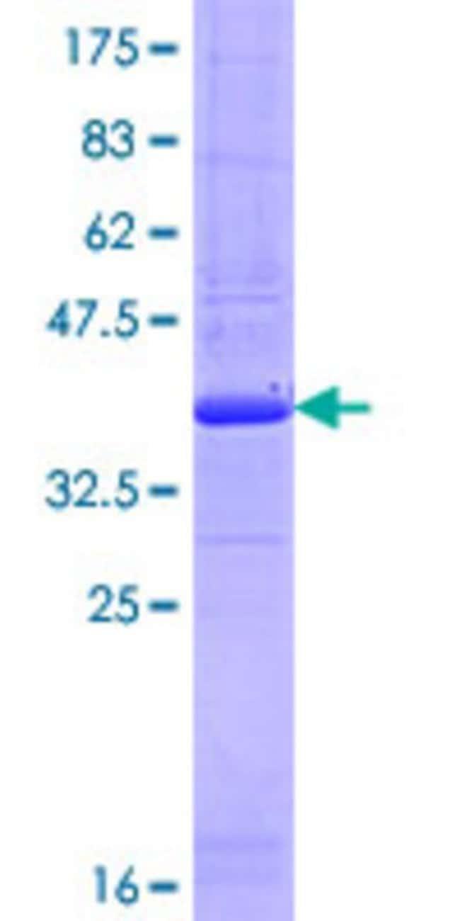 Abnova Human IVNS1ABP Partial ORF (NP_006460.2, 1 a.a. - 100 a.a.) Recombinant