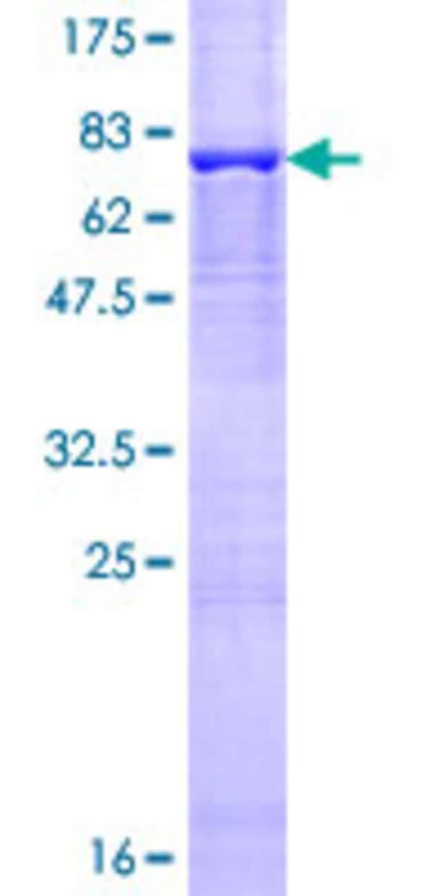 AbnovaHuman TAF6L Full-length ORF (AAH08785.1, 1 a.a. - 459 a.a.) Recombinant