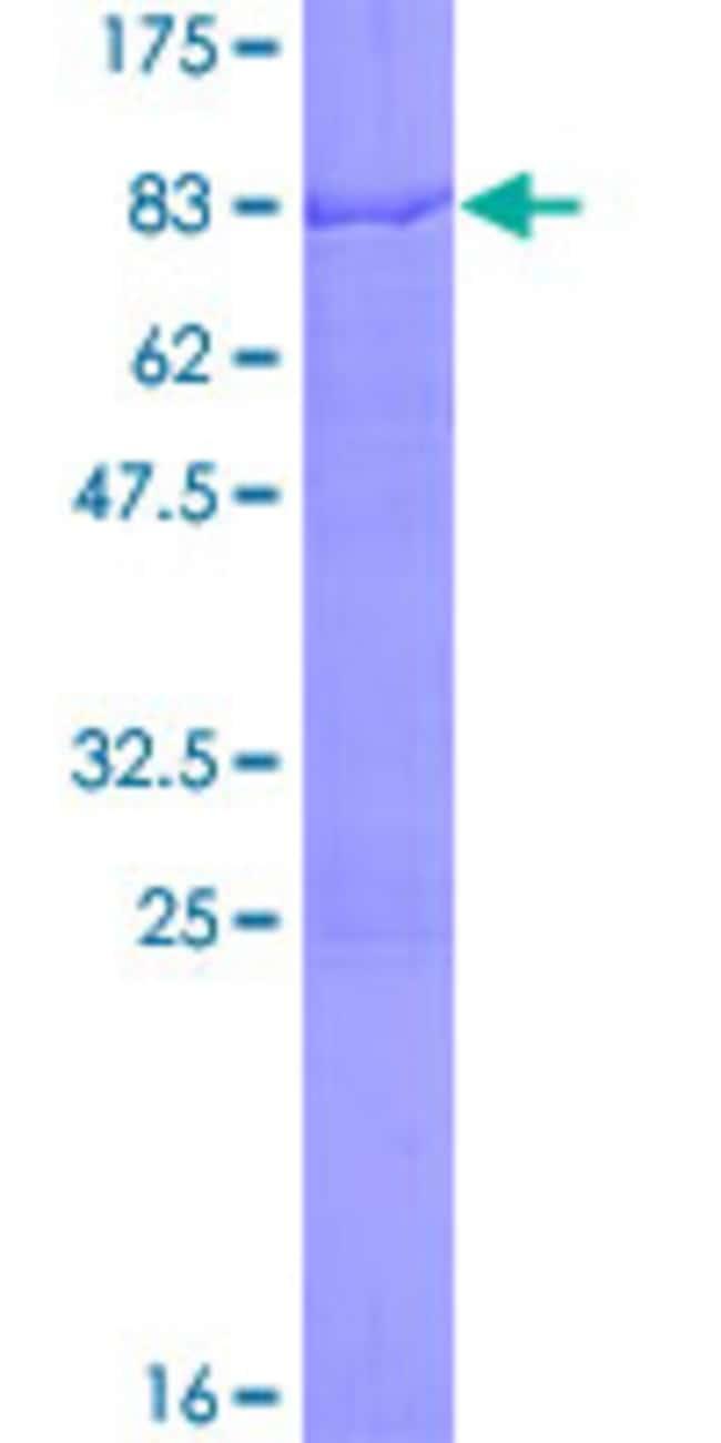 AbnovaHuman CUGBP2 Full-length ORF (AAH36391.1, 1 a.a. - 521 a.a.) Recombinant