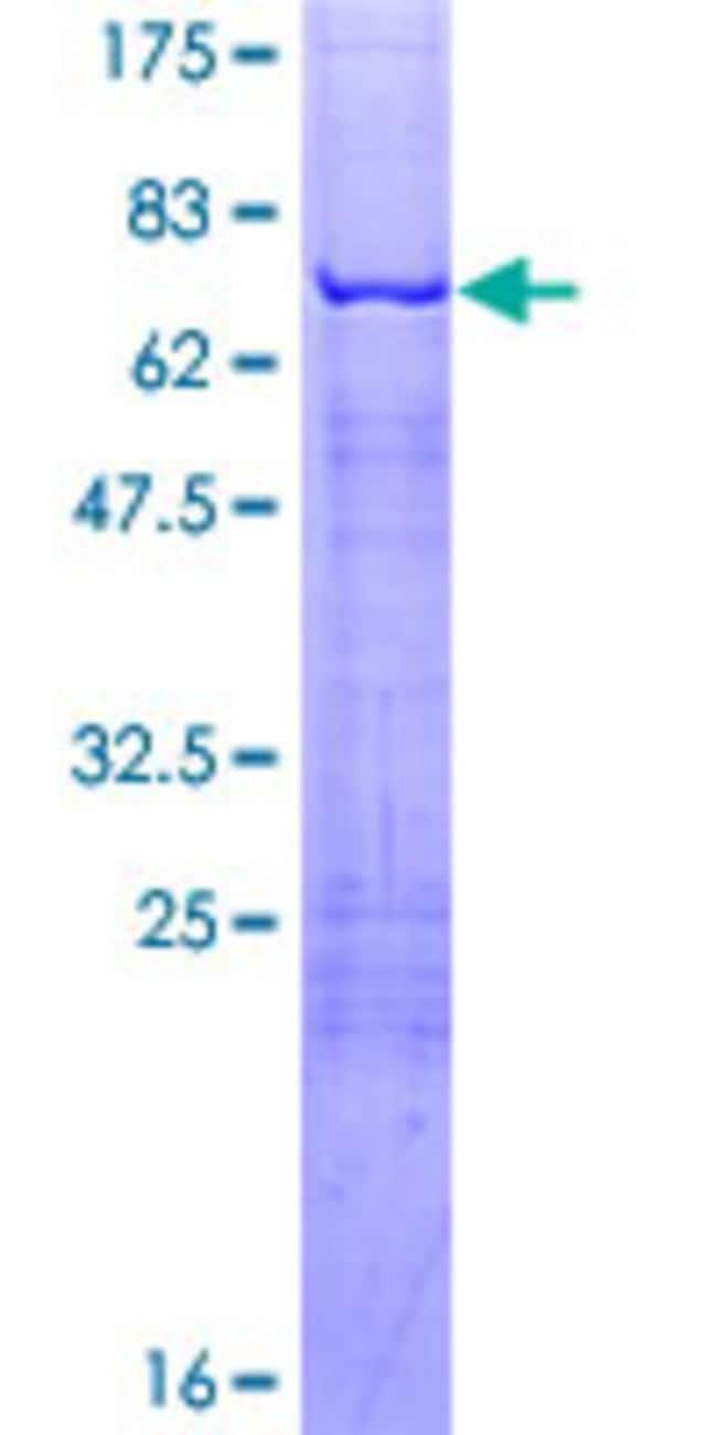Abnova Human KLF1 Full-length ORF (AAH33580.1, 1 a.a. - 362 a.a.) Recombinant