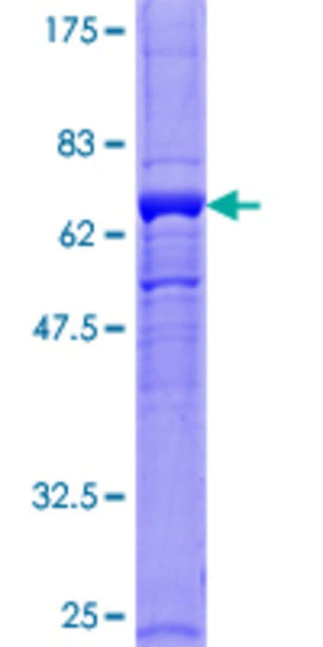 AbnovaHuman GNB5 Full-length ORF (NP_006569.1, 1 a.a. - 353 a.a.) Recombinant