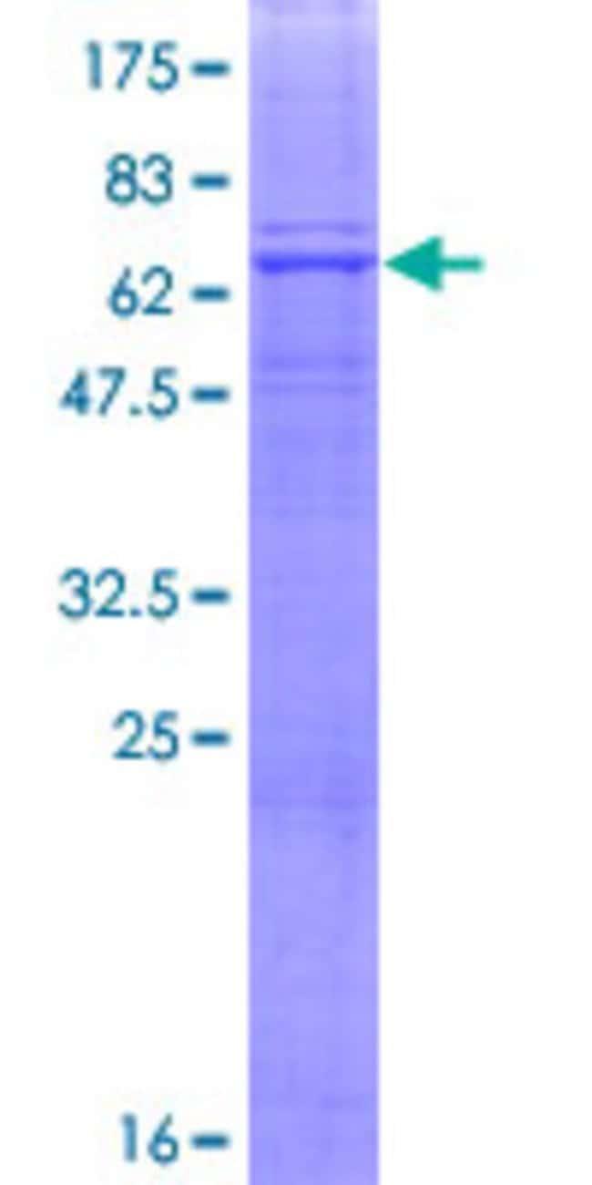 AbnovaHuman FUT9 Full-length ORF (AAH36101.1, 1 a.a. - 359 a.a.) Recombinant