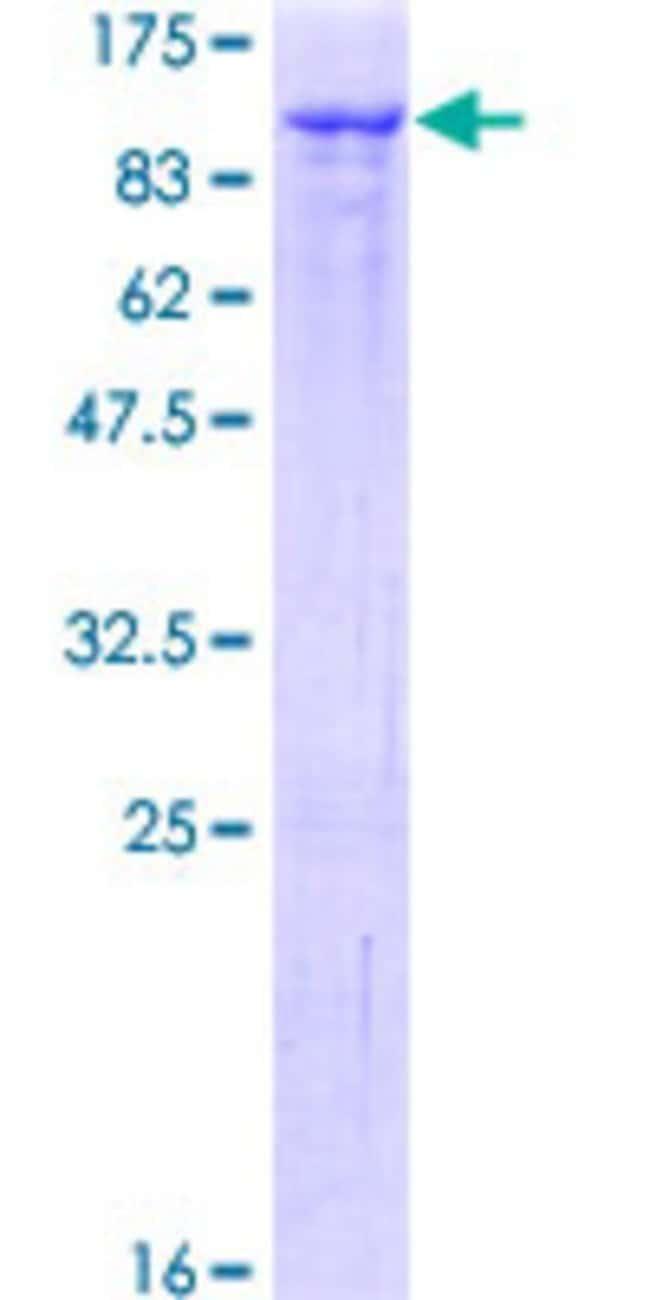 AbnovaHuman GMEB1 Full-length ORF (NP_077808.1, 1 a.a. - 563 a.a.) Recombinant