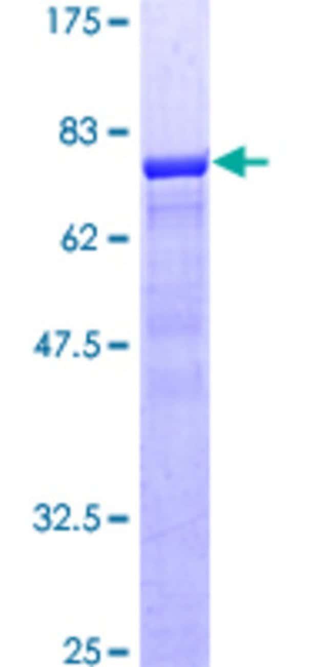 AbnovaHuman NUDC Full-length ORF (AAH15153, 1 a.a. - 331 a.a.) Recombinant