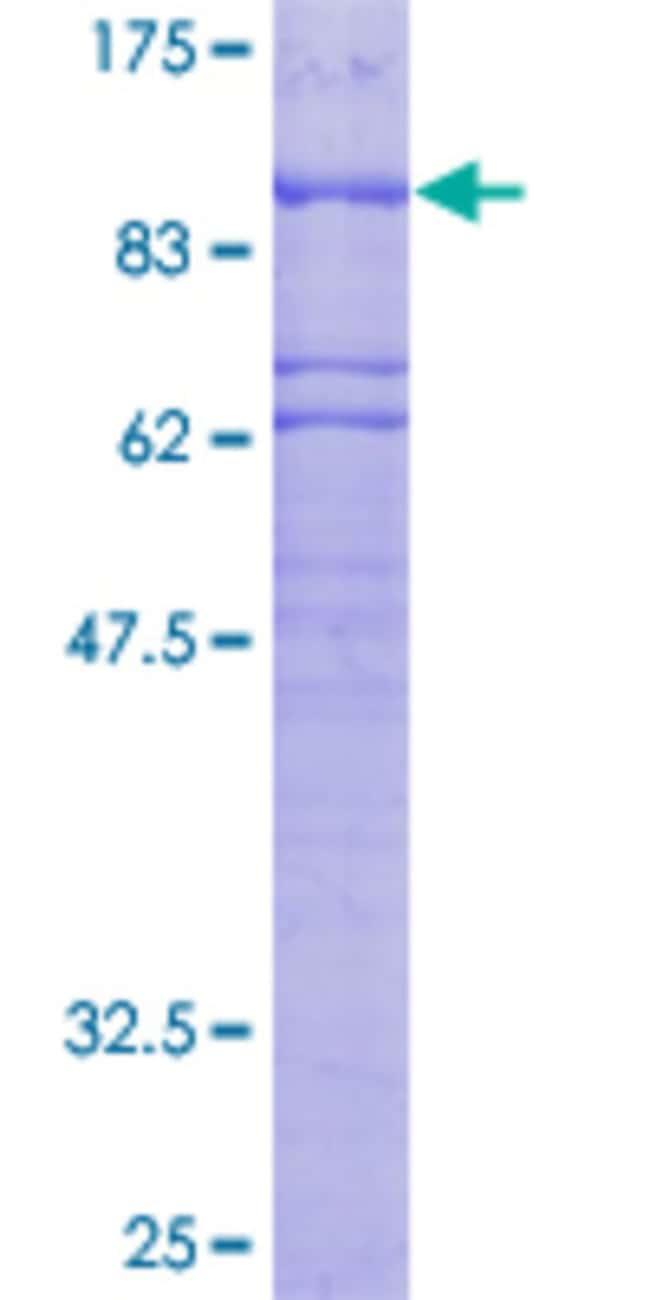 AbnovaHuman PLK2 Full-length ORF (AAH13879, 1 a.a. - 685 a.a.) Recombinant