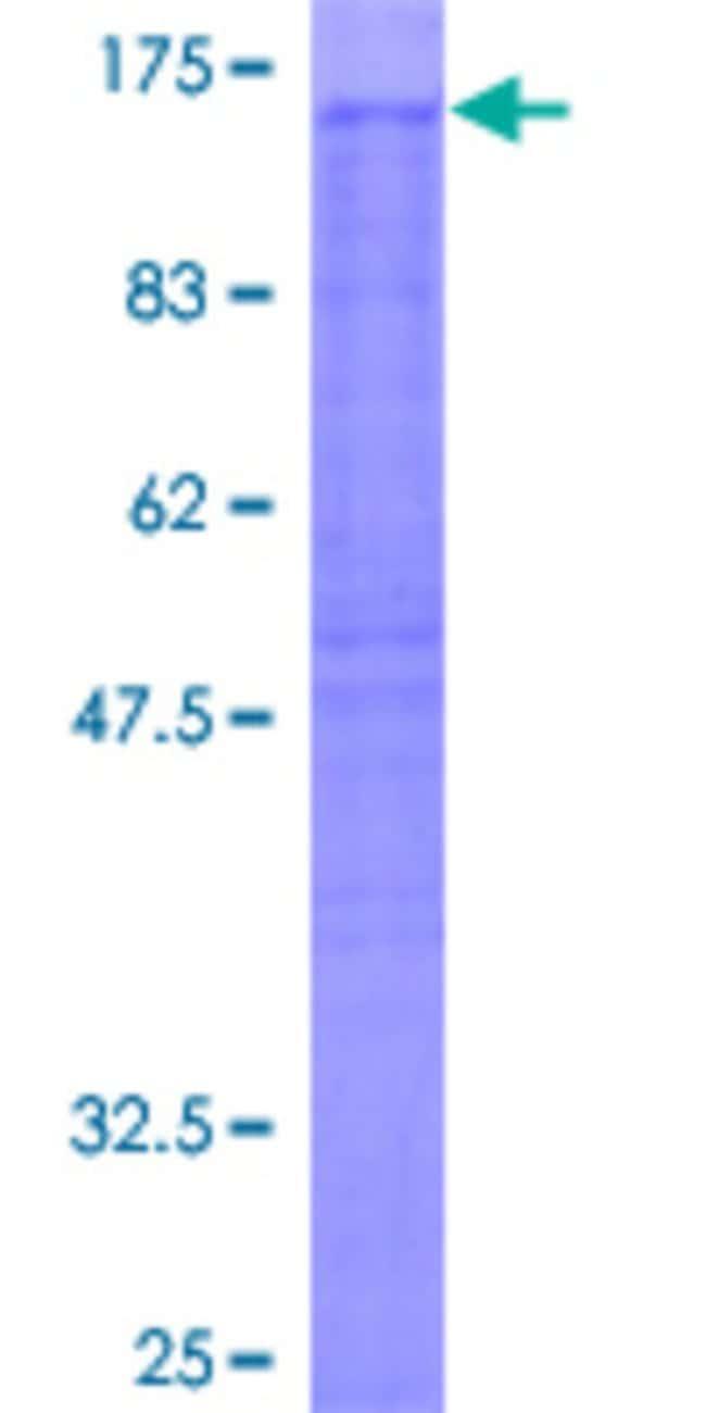 AbnovaHuman NCKAP1 Full-length ORF (AAH15025, 1 a.a. - 1128 a.a.) Recombinant