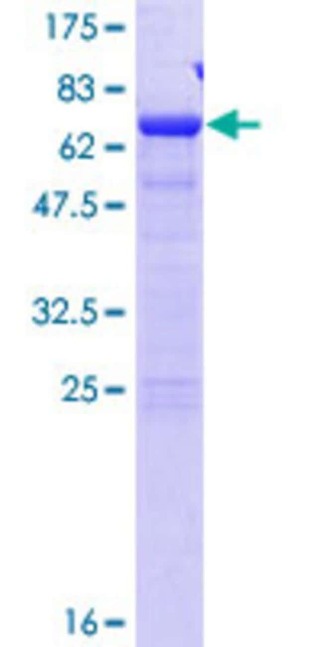 AbnovaHuman SDCCAG8 Full-length ORF (AAH32454.1, 1 a.a. - 360 a.a.) Recombinant