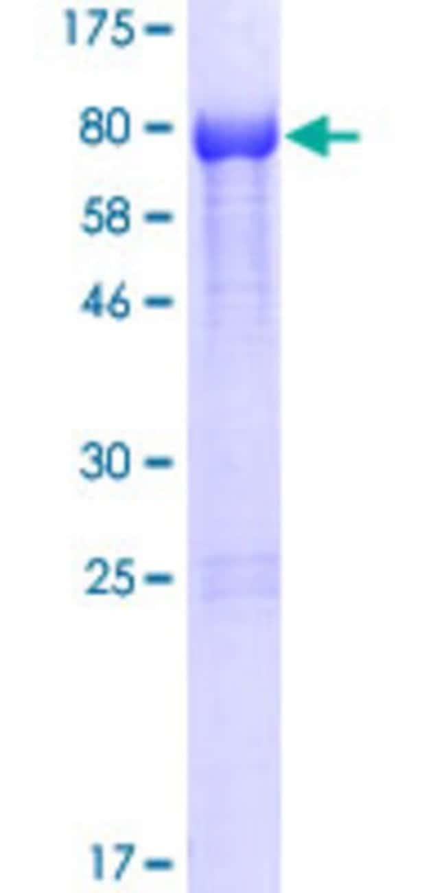 AbnovaHuman NOXA1 Full-length ORF (NP_006638.1, 1 a.a. - 483 a.a.) Recombinant