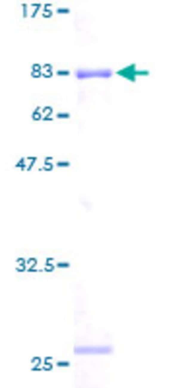 AbnovaHuman RUVBL2 Full-length ORF (AAH00428, 1 a.a. - 463 a.a.) Recombinant