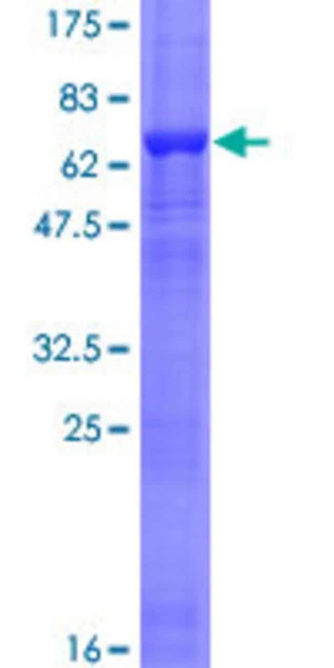 AbnovaHuman ACTL7B Full-length ORF (NP_006677.1, 1 a.a. - 415 a.a.) Recombinant