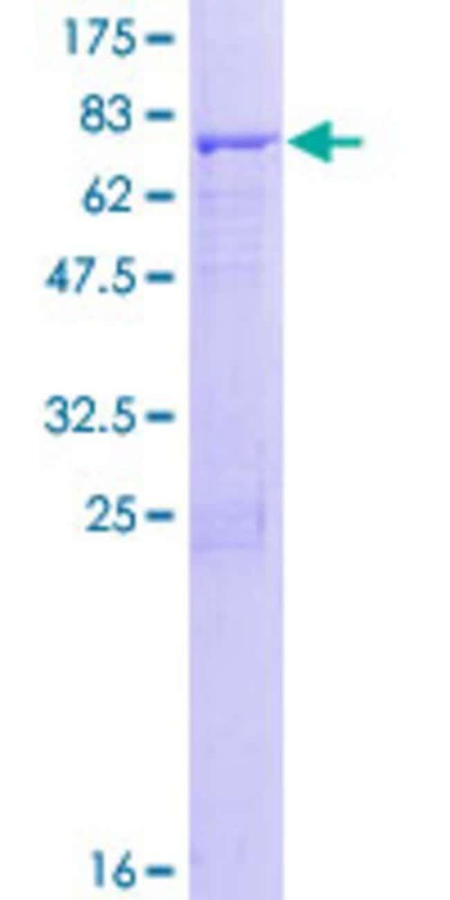 AbnovaHuman ACTL7A Full-length ORF (NP_006678.1, 1 a.a. - 435 a.a.) Recombinant