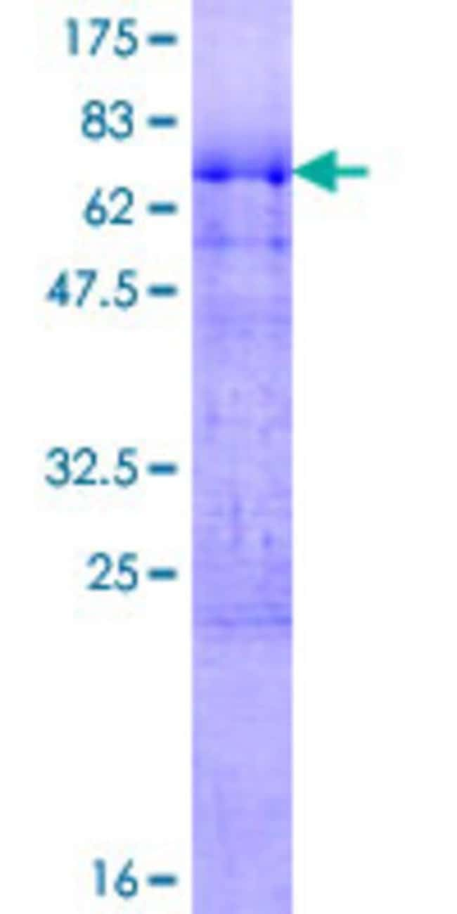 Abnova™ Human RNPS1 Full-length ORF (NP_006702.1, 1 a.a. - 305 a.a.) Recombinant Protein with GST-tag at N-terminal 10μg Abnova™ Human RNPS1 Full-length ORF (NP_006702.1, 1 a.a. - 305 a.a.) Recombinant Protein with GST-tag at N-terminal