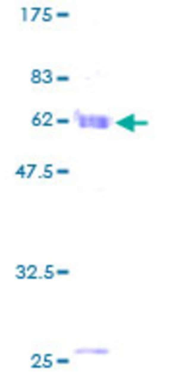 AbnovaHuman MORF4L1 Full-length ORF (AAH22845, 1 a.a. - 323 a.a.) Recombinant