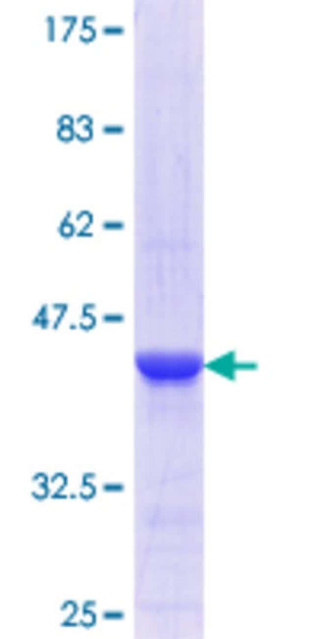 AbnovaHuman MORF4L1 Partial ORF (NP_006782.1, 1 a.a. - 100 a.a.) Recombinant