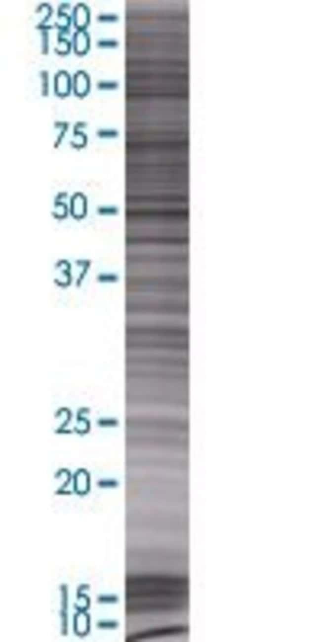 AbnovaAFG3L2 293T Cell Transient Overexpression Lysate (Denatured) 100μL:Protein