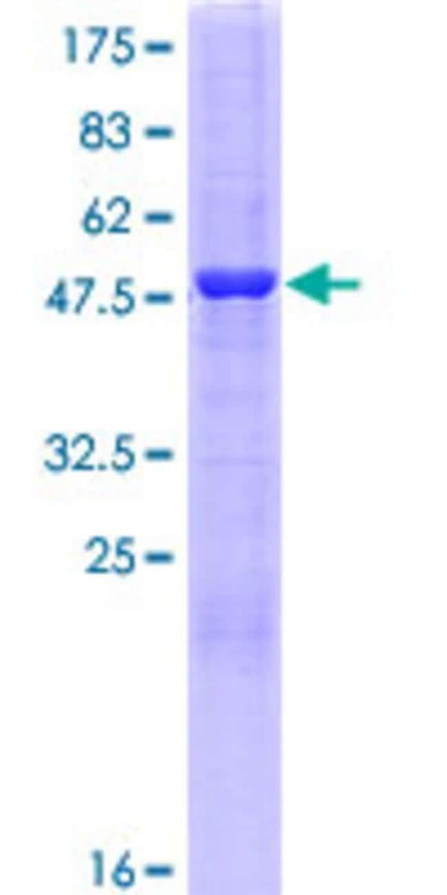 AbnovaHuman ERP29 Full-length ORF (NP_006808.1, 1 a.a. - 261 a.a.) Recombinant